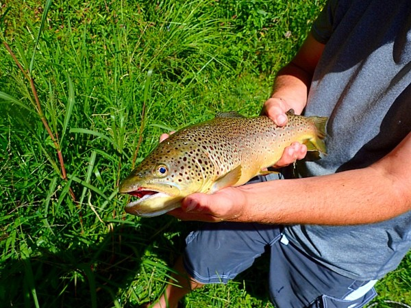 Large Toccoa Brown Trout